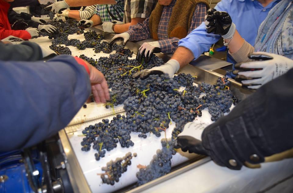 Amigos y clientes seleccionan manualmente de las mejores uvas. para 'Penumbra'. Bodega Pagos de Leza