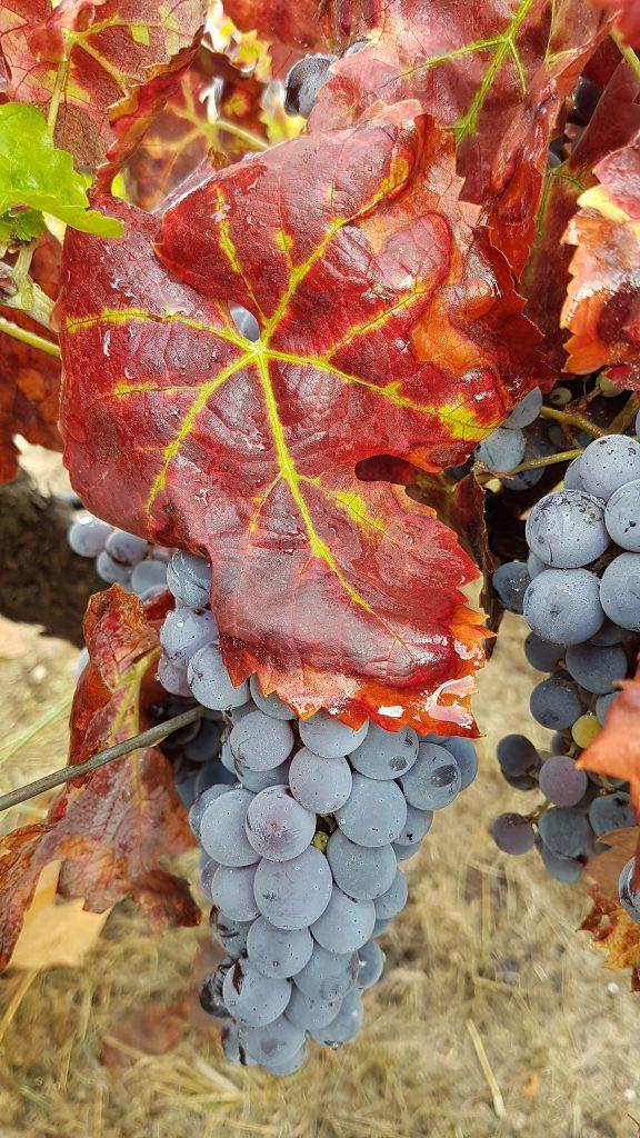 Rescatando variedades terruños. Foto: 'Celler de la Muntanya'.